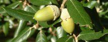 Holm oak (Quercus ilex) - acorns