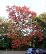 Red oak (Quercus rubra) - 2