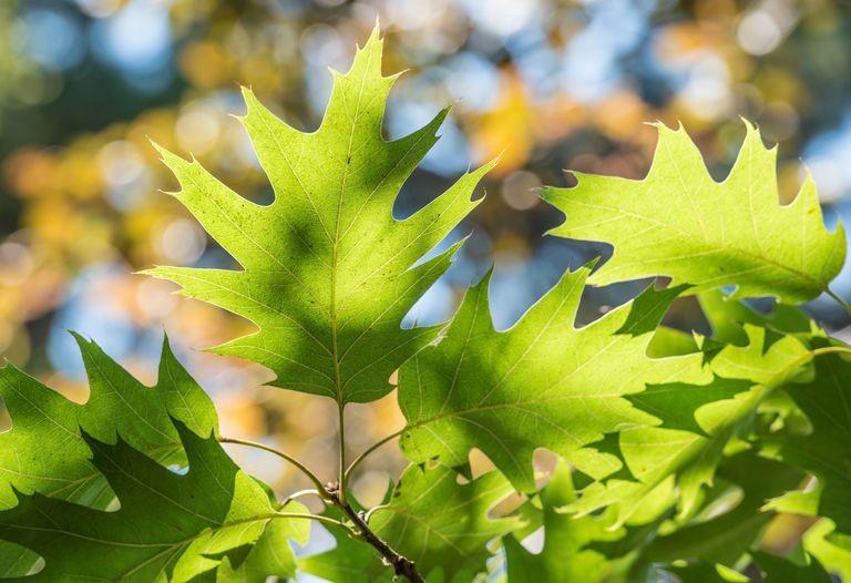 Red oak (Quercus rubra) - leaves