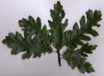 Turkey oak (Quercus cerris) - leaves