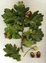 English Oak (Quercus robur) - acorns