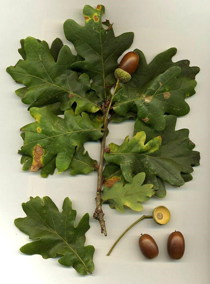 English Oak (Quercus robur) - acorns