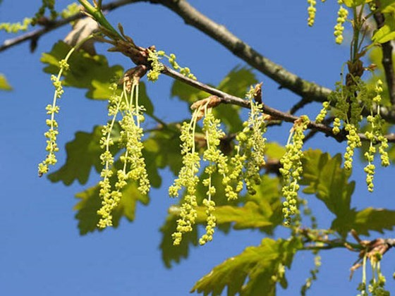 Sessile oak (Quercus petraea) - flowers